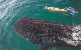 swim-whale-shark01